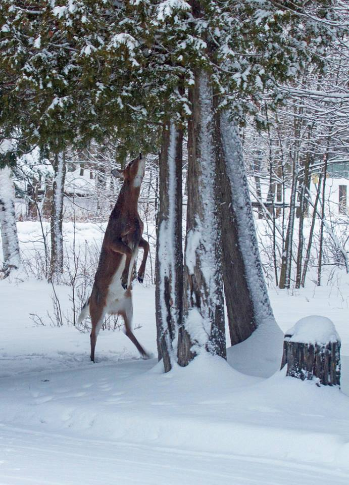 The deer are in serious trouble